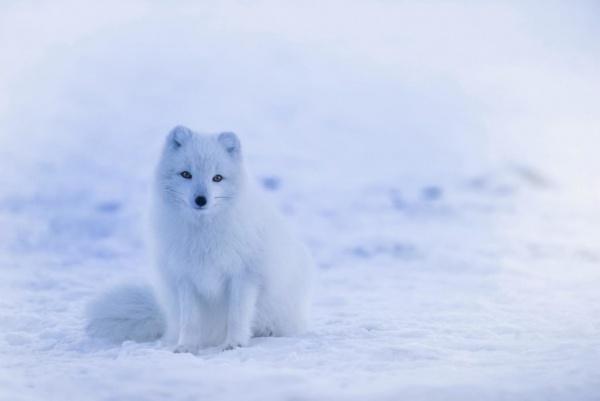 الثعلب القطبي من الطف الحيوانات في العالم