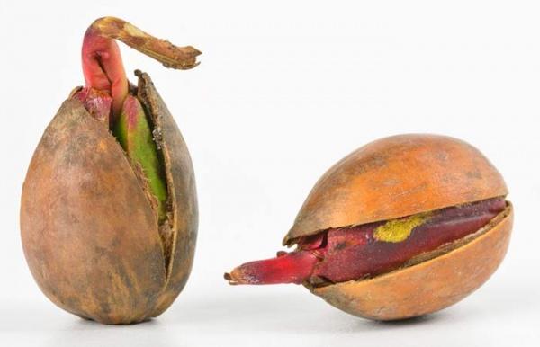 براعم البلوط من الاطعمة الغنية بالالياف