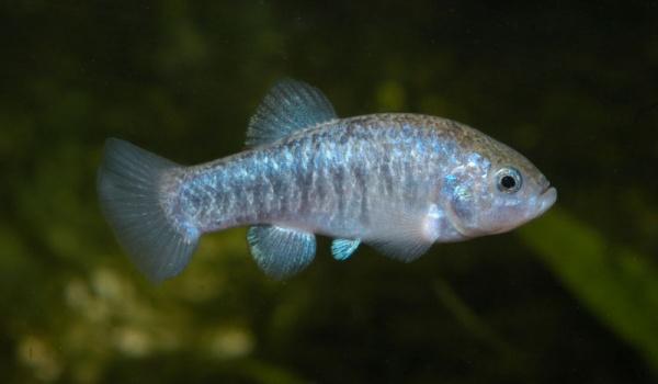 من الحيوانات المنقرضة حديثا سمك تيكوبا