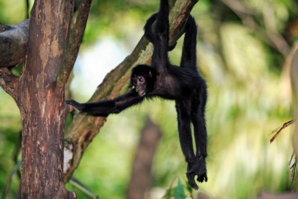 طول ذيل القرد العنكبوت