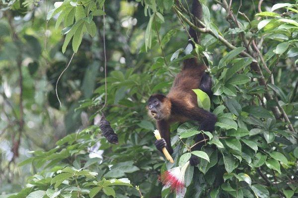 غذاء القرد العنكبوت