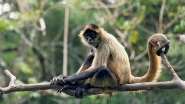 نتيجة بحث الصور عن القرد العنكبوت