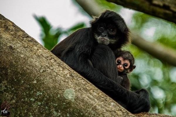 صغير القرد العنكبوت