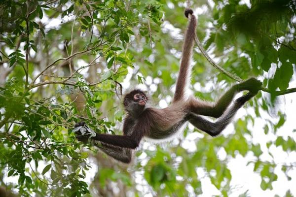 القرد العنكبوت وهو يتعلق بالاشجار بذيله واطرافه