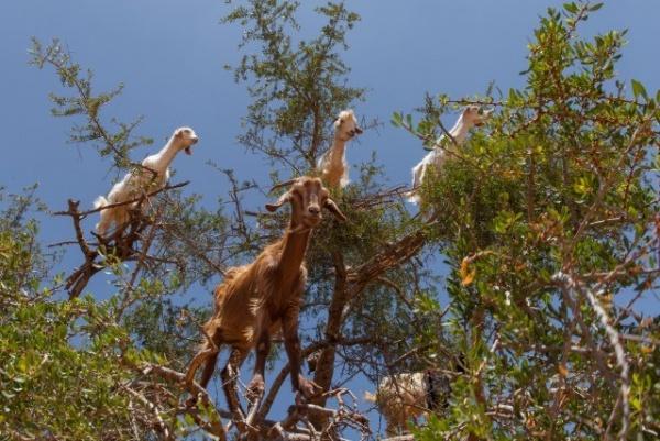 الماعز تستطيع تسلق الاشجار المائلة