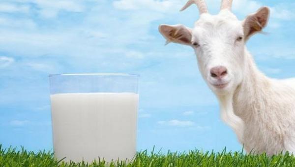 حليب الماعز الصحي