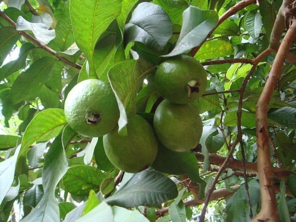 شجرة الجوافة