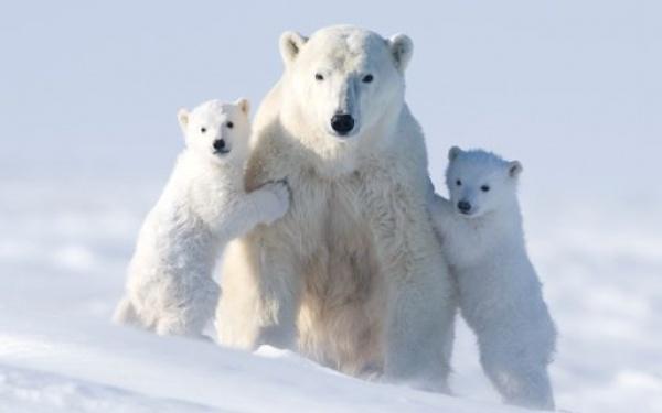 صورة الدب القطبي مع صغاره