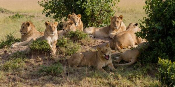 الاسد الافريقي يفضل العيش في مجموعات
