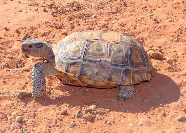 من حيوانات الصحراء سلحفاة الصحراء