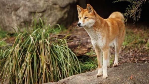 من حيوانات الصحراء الكلب الاسترالي
