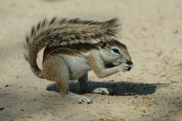 من حيوانات الصحراء السنجاب الارضي الافريقي