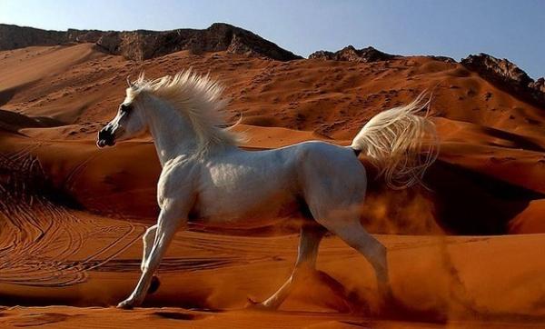 من حيوانات الصحراء الحصان العربي