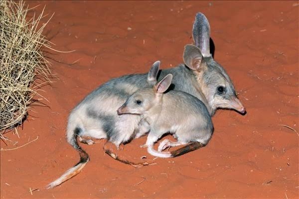 من حيوانات الصحراء الأوبوسوم