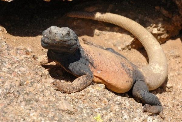 من حيوانات الصحراء عظاءة جزيرة سان إستيبان