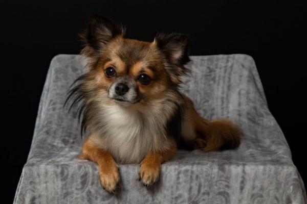 من اصغر كلاب في العالم كلب شيواوا