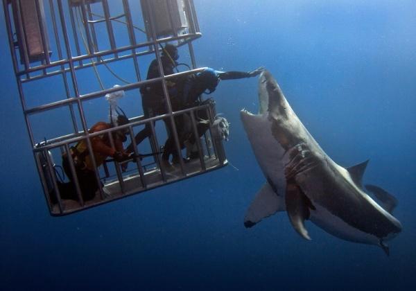 اهتمام الانسان بسمك القرش الابيض الكبير
