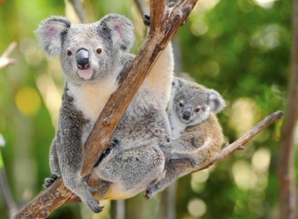 انثى حيوان الكوالا مع صغيرها