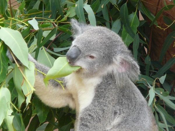 طعام حيوان الكوالا المفضل