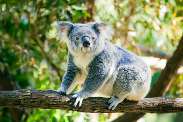 شكل حيوان الكوالا