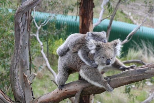 حيوان الكوالا وهو يحمل صغيره فوق منه