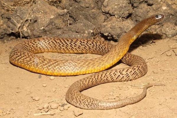 من اخطر الثعابين السامة افعى التايبان الداخلي