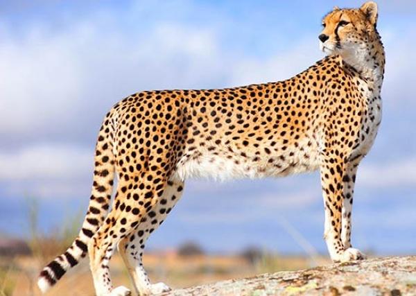 معلومات عن شيتا اسرع الحيوانات البرية