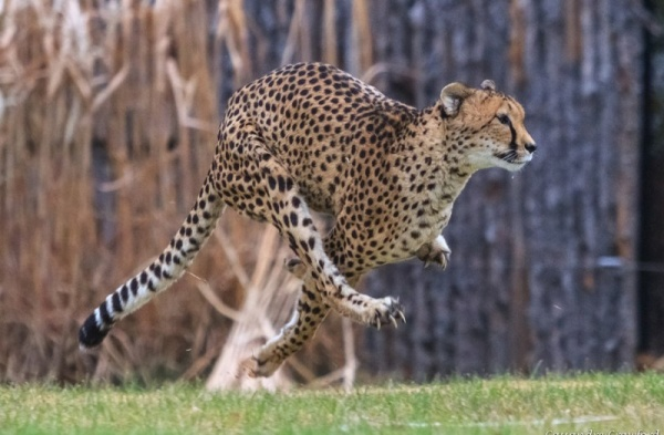 مخالب شيتا تساعد في السرعة الرهيبة