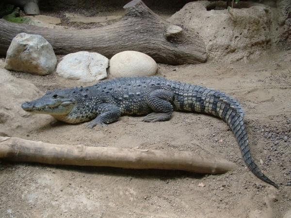 من انواع التماسيح تمساح موريليت