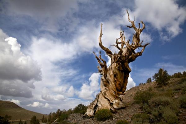 شجرة ميثوسيلا من اقدم الاشجار في العالم