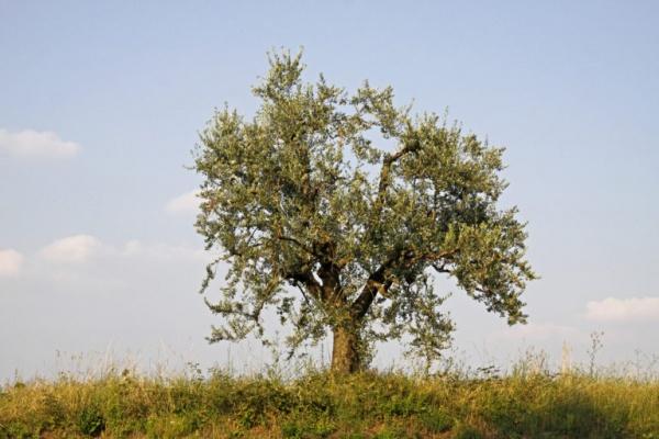 شجرة أوليفيرا دو موشاو من اقدم الاشجار في العالم