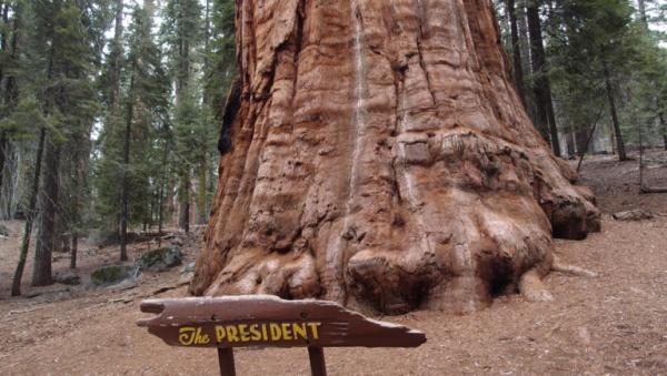 شجرة الرئيس من اقدم الاشجار في العالم