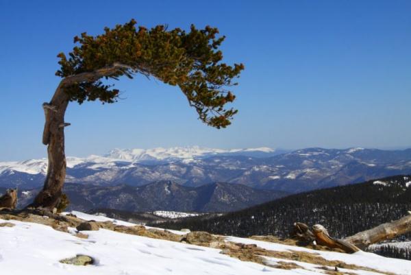 شجرة سب-90-11 من اقدم الاشجار في العالم