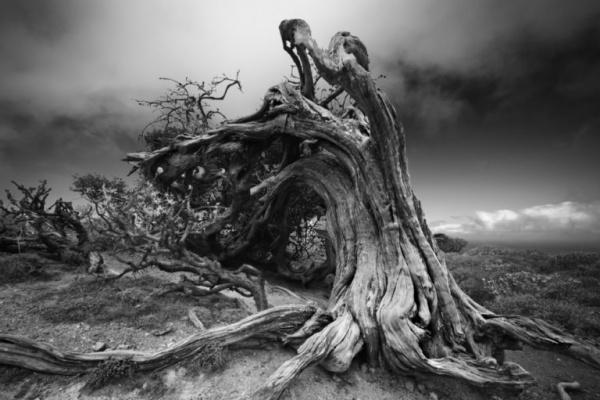 شجرة بينيت جونيبر من اقدم الاشجار في العالم