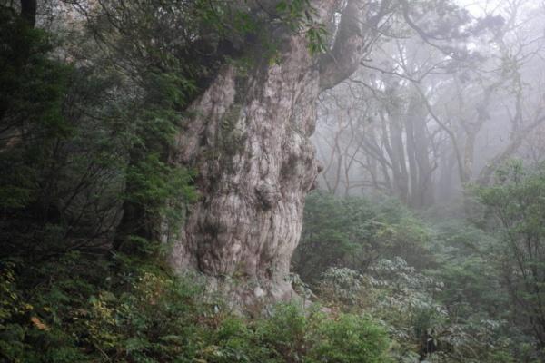 شجرة سرو اليابان من اقدم الاشجار في العالم
