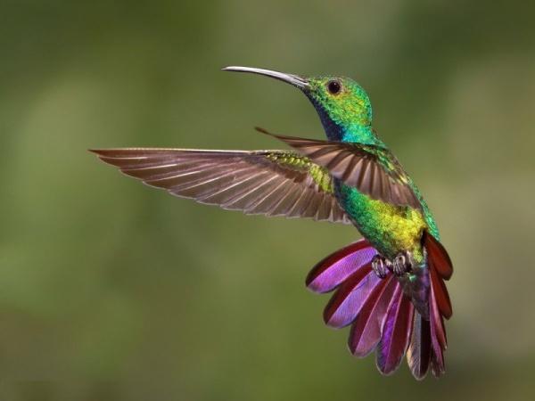 الطائر الطنان يفضل الطيران عن المشي على الارض