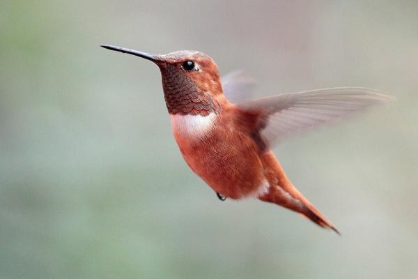 الطائر الطنان الطائر الوحيد الذي يطير للخلف