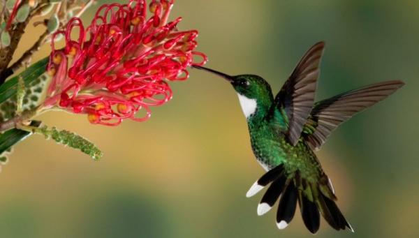 الطائر الطنان الاخضر الرائع
