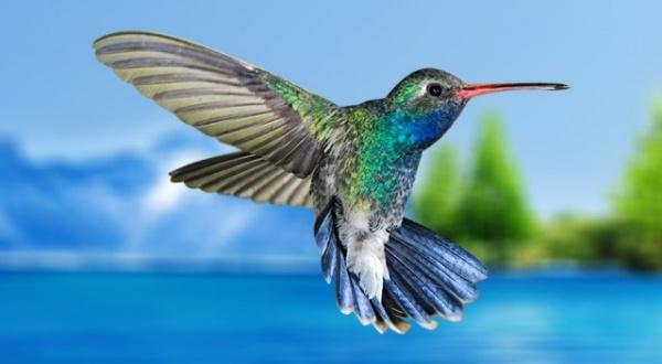 انواع الطائر الطنان