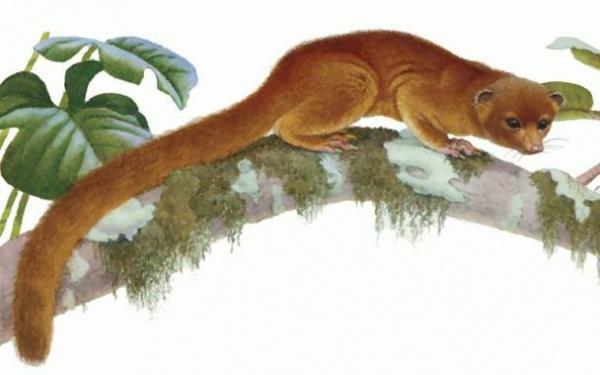 أولينغويتو من انواع الحيوانات المكتشفة حديثا