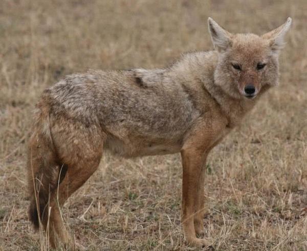 حيوان ابن آوي الذهبي من الحيوانات الصحراوية